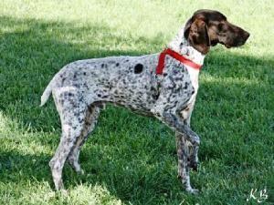 Adopt Sooner On German Shorthaired Pointer German Shorthaired Pointer Dog German Shorthair