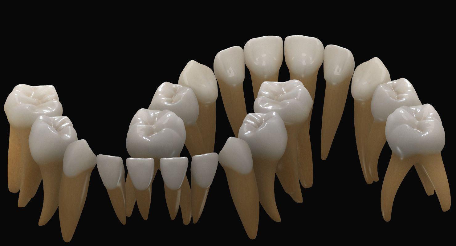 http://www.turbosquid.com/3d-models/primary-dentition-gums-mouth-3d ...