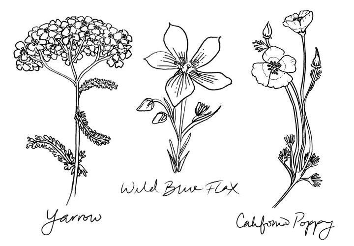 Native Flora: Golden Yarrow, Wild Blue Flax, California