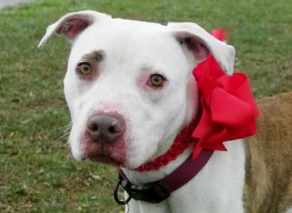 Petango.com – Meet Charolette 41, a 1 year Terrier, American Pit Bull / Mix available for adoption in CLEVELAND, OH
