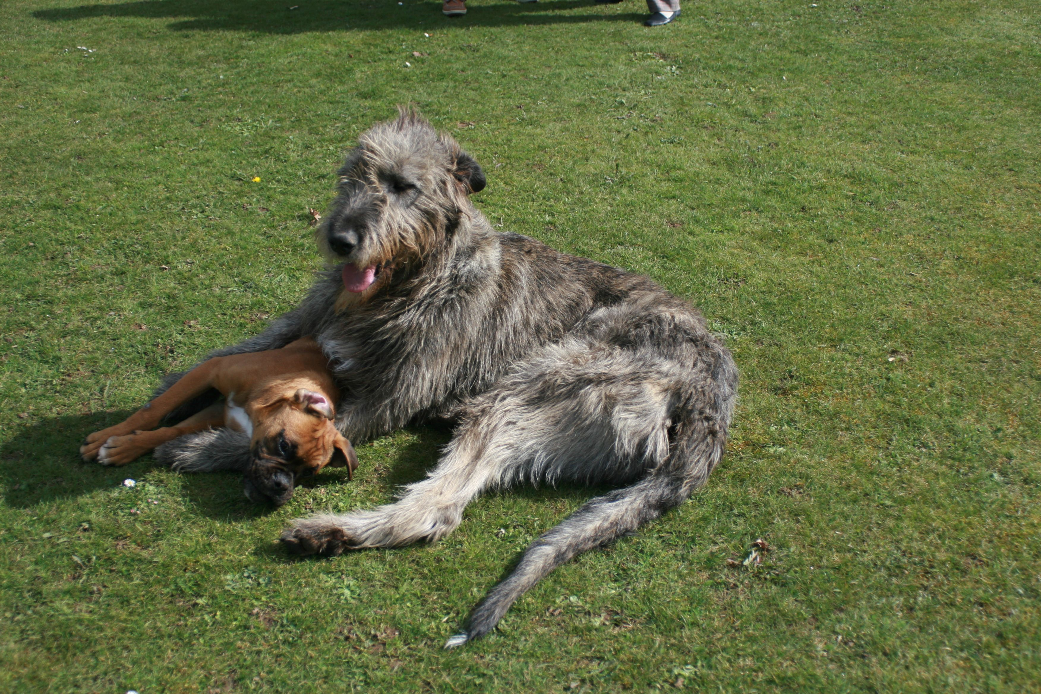Irish Wolfhound Playing With A Boxer On A Castle S Grounds In