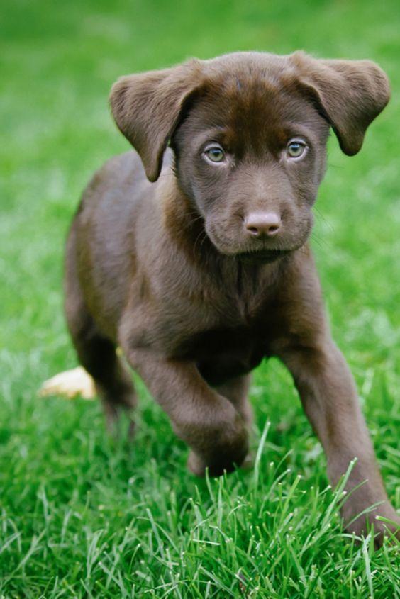 Chocolate Lab Puppy In 2020 Labrador Retriever Labrador Labrador Puppy