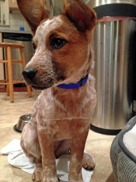 Penny The Australian Cattle Dog Mix Cattle Dogs Mix Australian Cattle Dog Mix