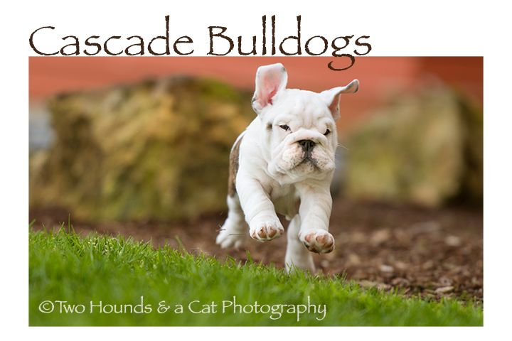 Bulldog Puppies Bulldog Puppies Bulldog Puppies