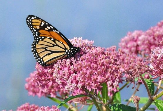 Monarch Butterflies Numbers Down Again  Drought conditions and historic wildfires the past few years continue to decrease their numbers as they wing across Texas this spring. Worse news: milkweed plants -- the only kind they need to survive -- are also not in plentiful supply. Help them by planting some milkweed.  http://www.sciencedaily.com/releases/2013/03/130313142434.htm