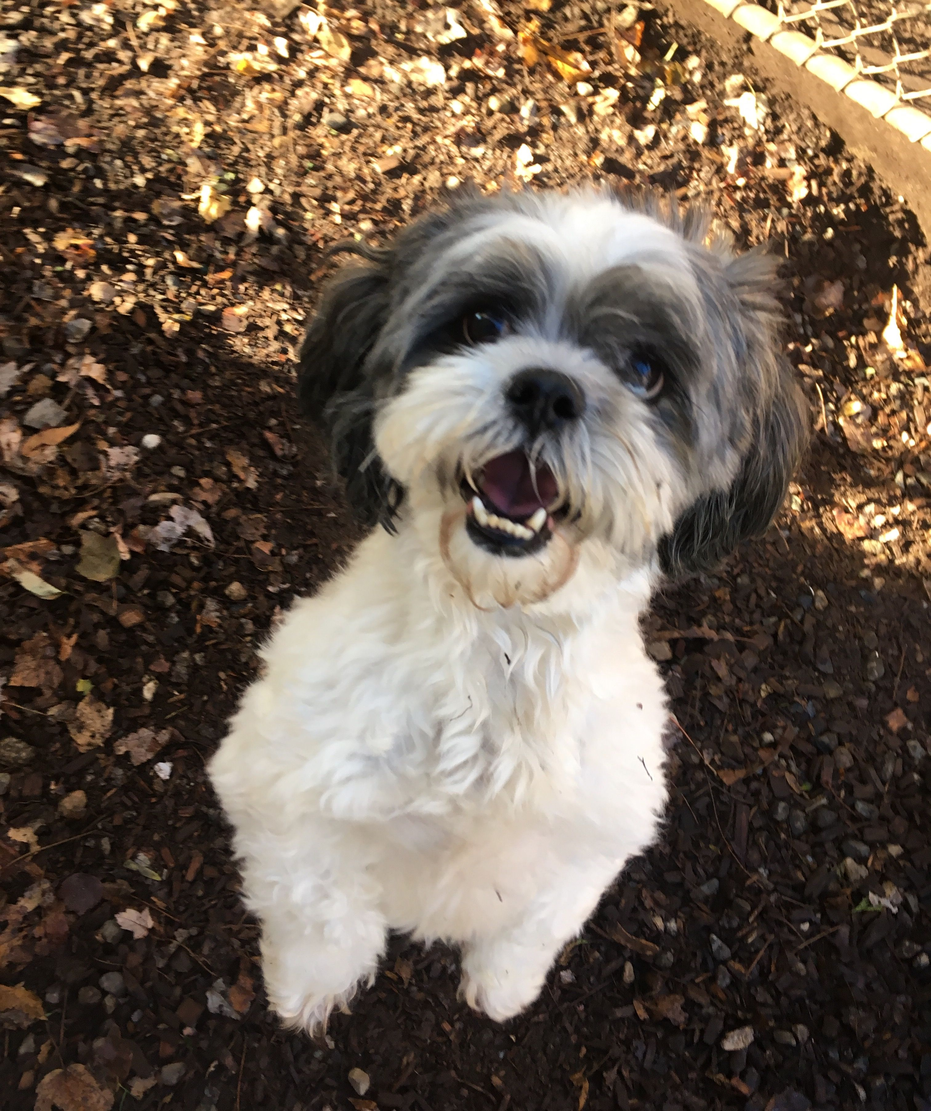 Bandit is ready for a treat! Really! #DogAntics #DogBoarding #Terrier #CookieTime