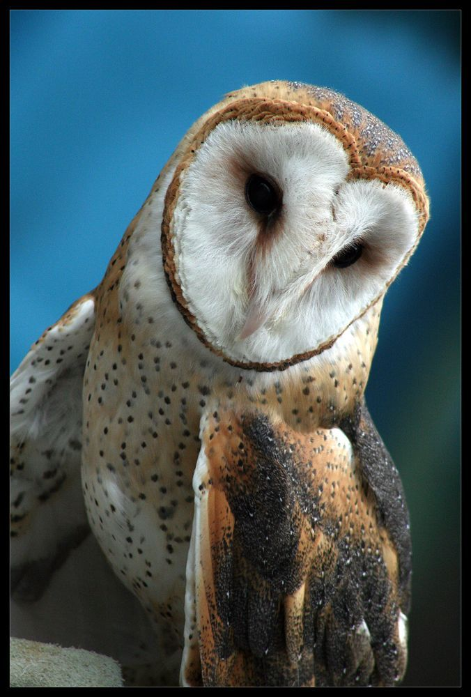 ~~Barn Owl by ~ladynightseduction~~ | Barn owl, Owl pet ...