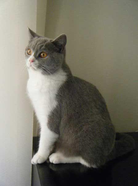 Two Toned British Short Hair British Shorthair Feline Furry