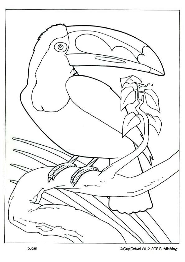 toucan coloring pages bird coloring  pinturas de