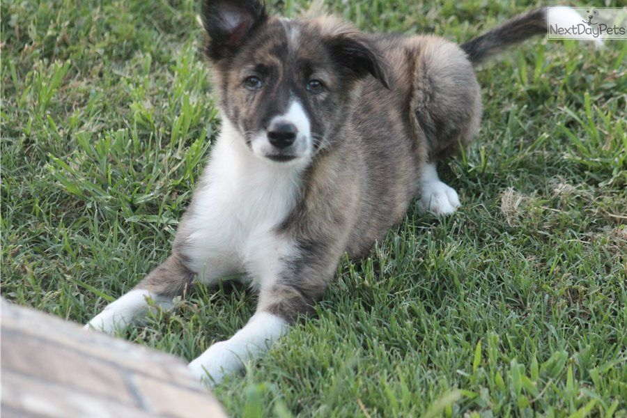 Border Collie Puppy For Sale Near Tyler East Tx Texas