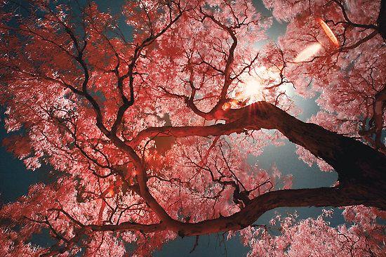 Red Sakura Sakura Tree Japanese Tree Beautiful Nature