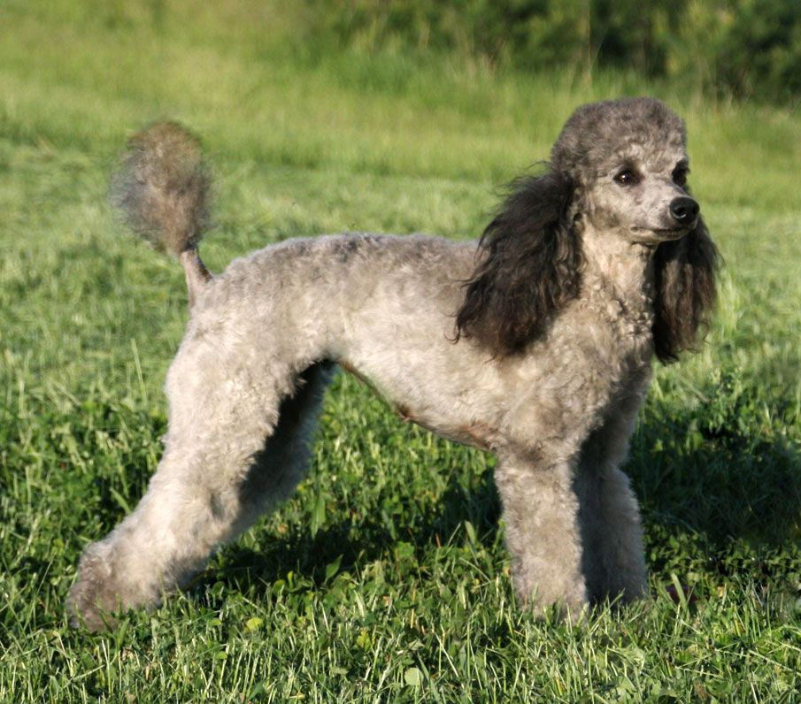 Sable Poodle Poodle Large Dog Breeds Dog Breeds