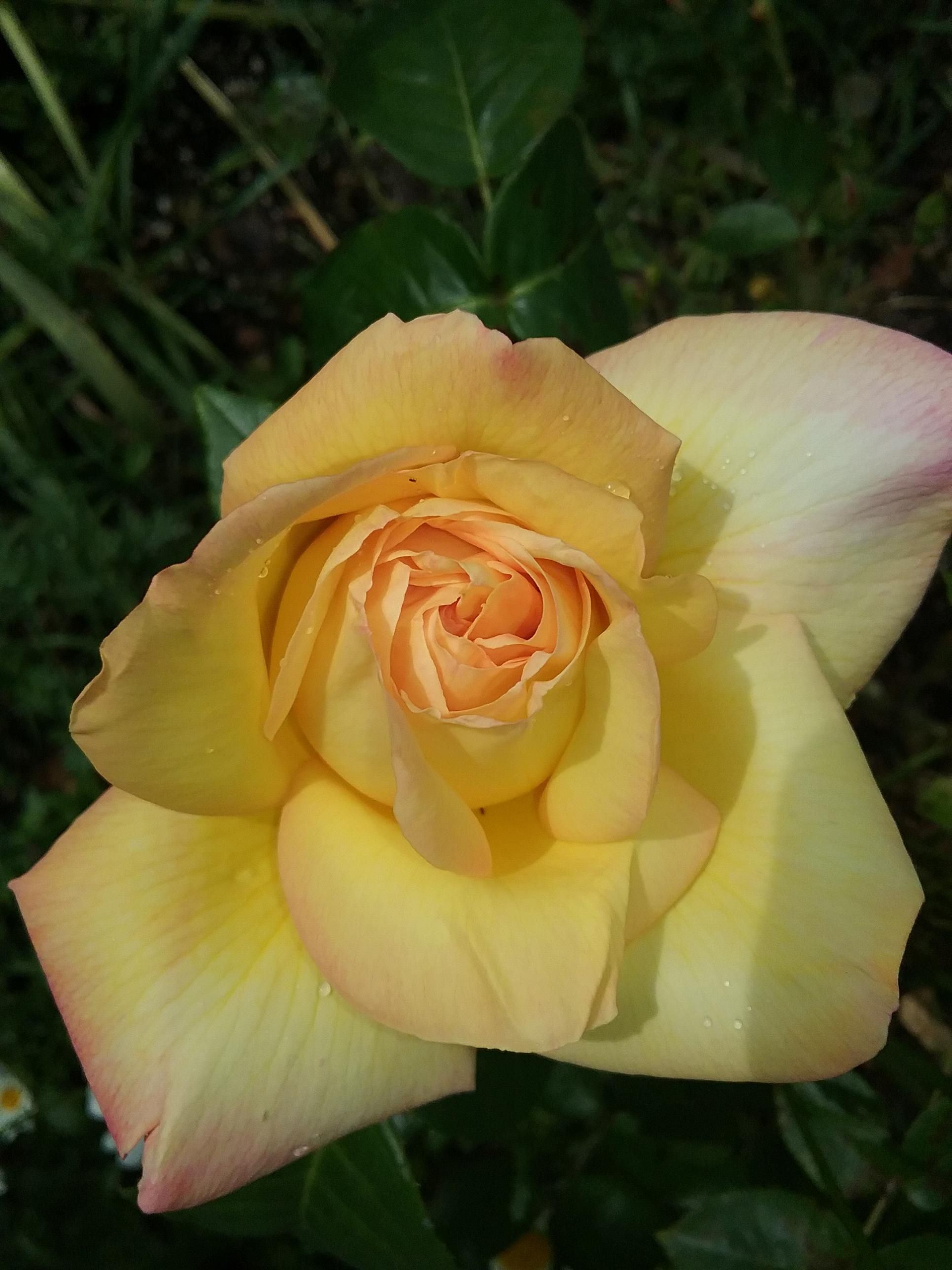 I think the pink edge of this rose makes it so pretty