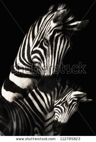 A digital render of a mother zebra with her foal.  Done in black and white with a black background. - stock photo
