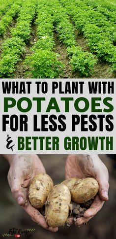 The Best Potato Companion Plants for Your Backyard Garden ...