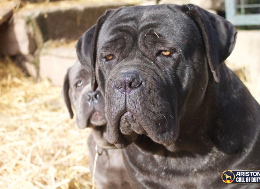 Coco Cane Corso Italiano Hembra Cane Corso Dog Cane Corso Corso Dog