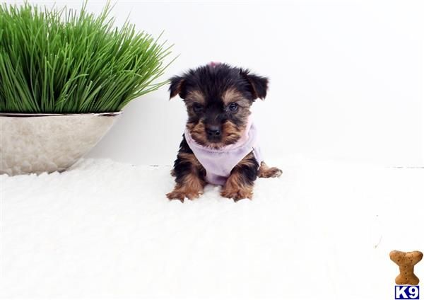 Urban Puppies has beautiful toy and teacup puppies for