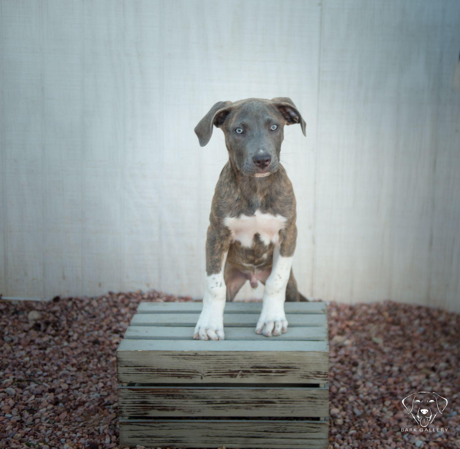 Great Dane Puppies Texas Craigslist