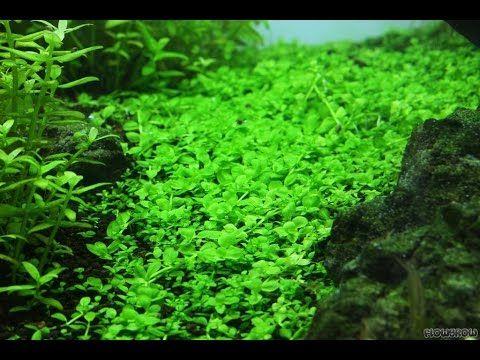 Monte Carlo Plants For Carpeting Planted Aquarium Freshwater Aquarium Plants Aquarium Grass