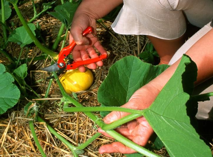 Tailler une tige de citrouille - F. Marre - Rustica - Le Bois Pinard - Marie Marcat