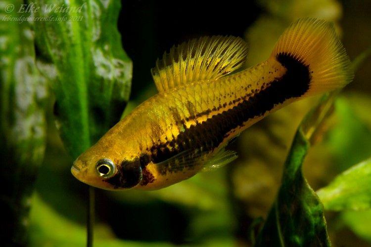 Xiphophorus Variatus Tampico Fresh Water Fish Tank Platy Fish Aquarium Fish