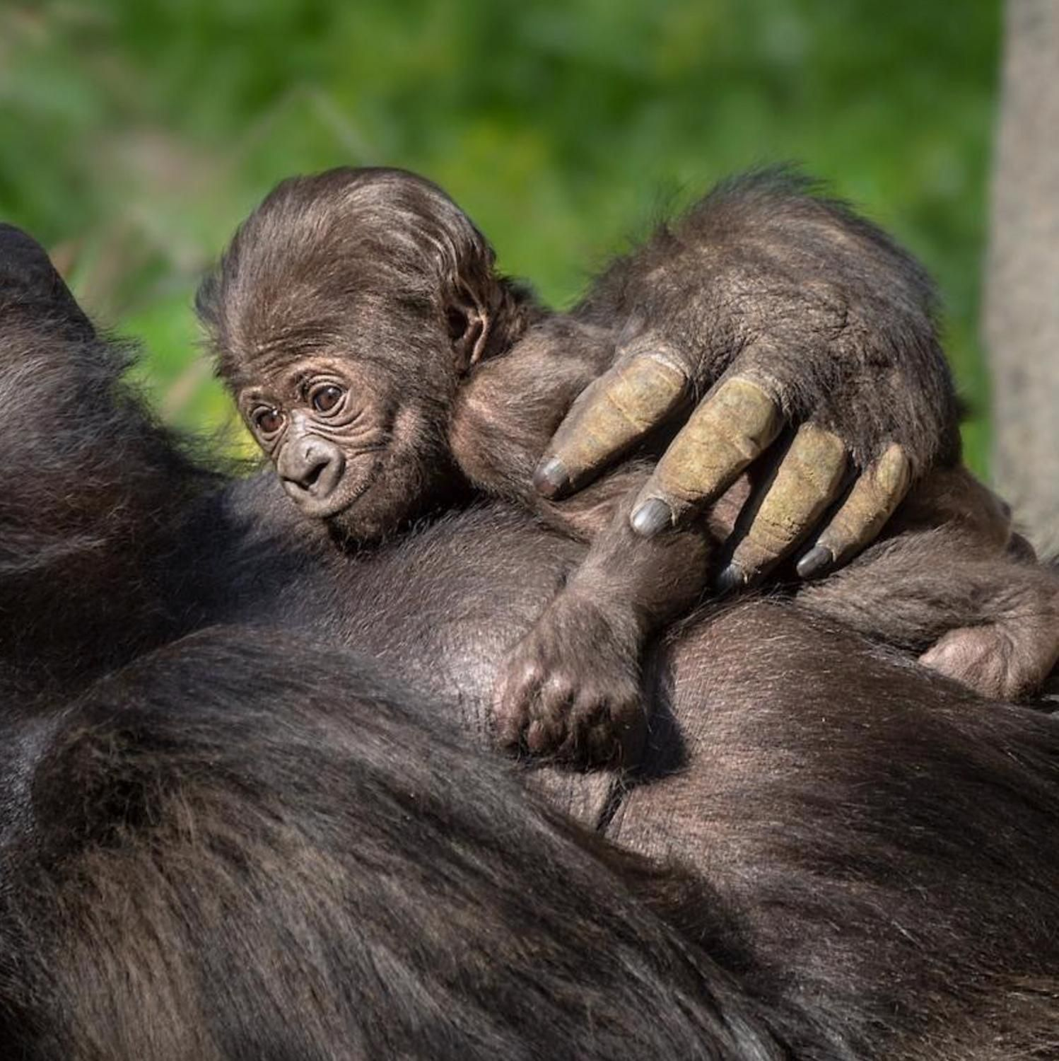 The Beginning Of 2020 Marked A Special Time For The Los Angeles Zoo Where A Baby Gorilla Was Born For The First Time In 20 Y In 2020 Baby Gorillas Gorilla Cute Babies
