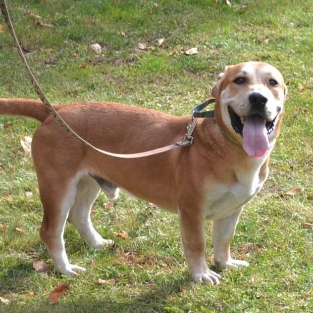 Adopt Howard On With Images Labrador Retriever Dog Adoption Basset Hound Mix