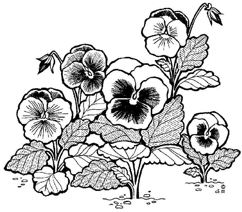 Img dessins cliparts de plantes fleurs arbres pensees for Arbres plantes fleurs