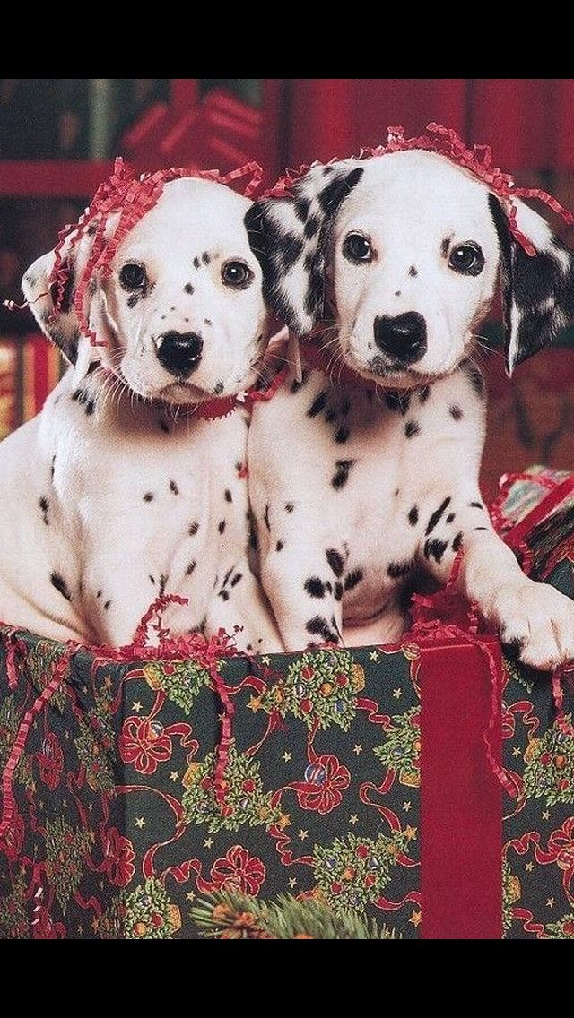 Dalmatians Puppies For Christmas Christmas Puppy