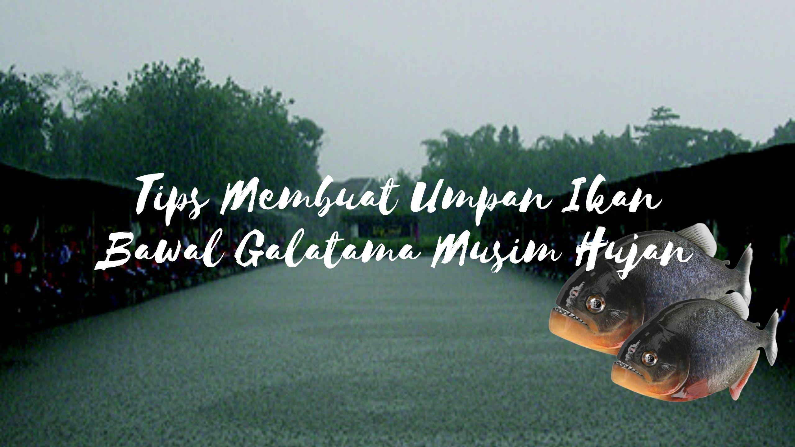 Umpan Ikan Bawal Galatama Musim Hujan Ikan Hujan Tips