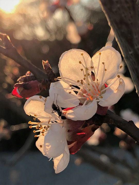 Бесплатные фото на Pixabay - Абрикос Цветет, Абрикос ...