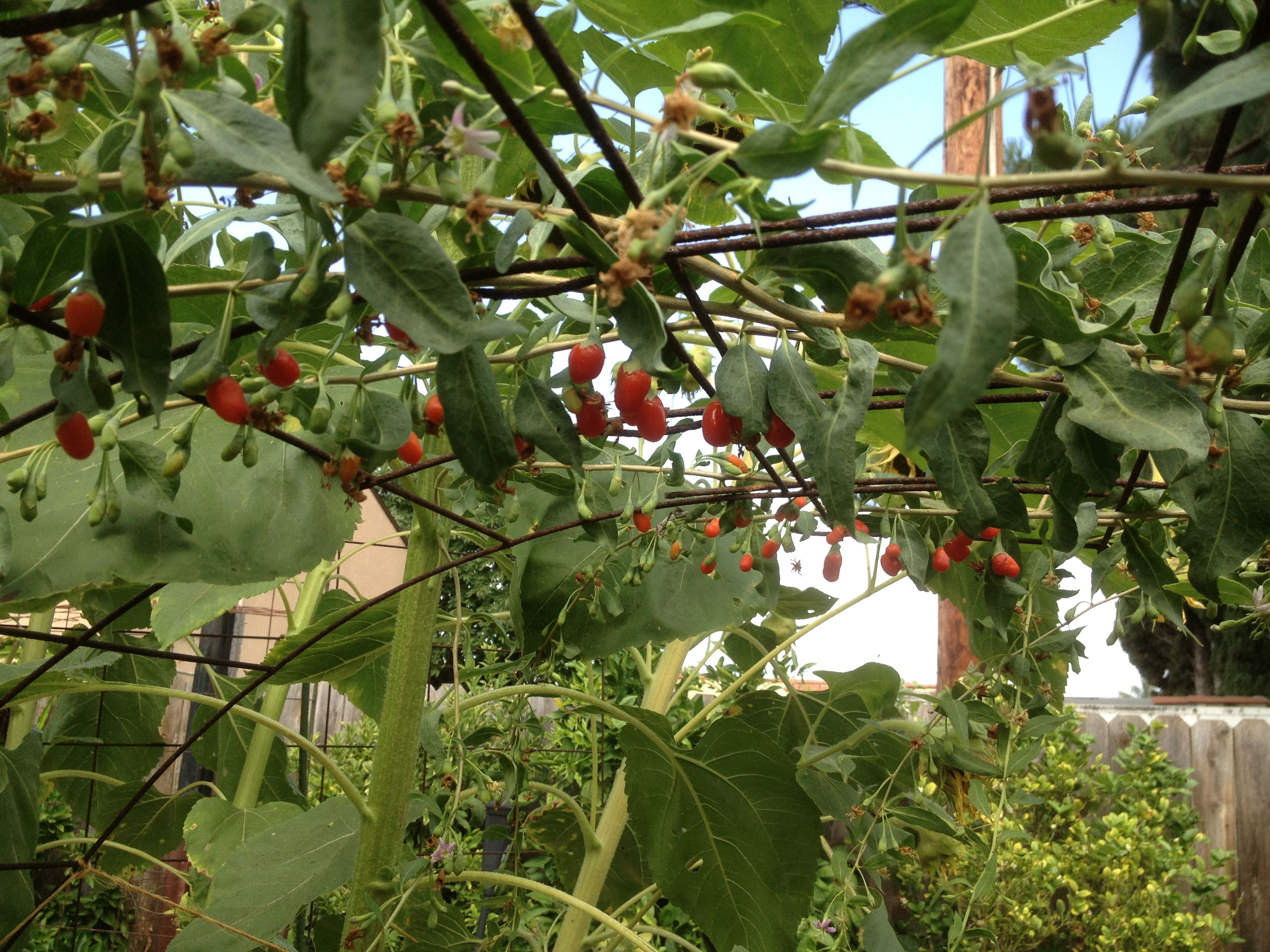 Goji Berry Plant Growing On Arbor Plenty Ripe For The Picking