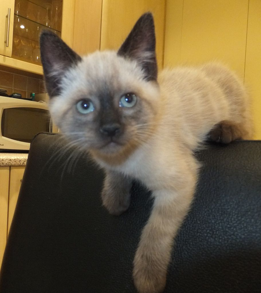 Wills and Harry (kittens) | Siamese kittens, Siamese and Cat