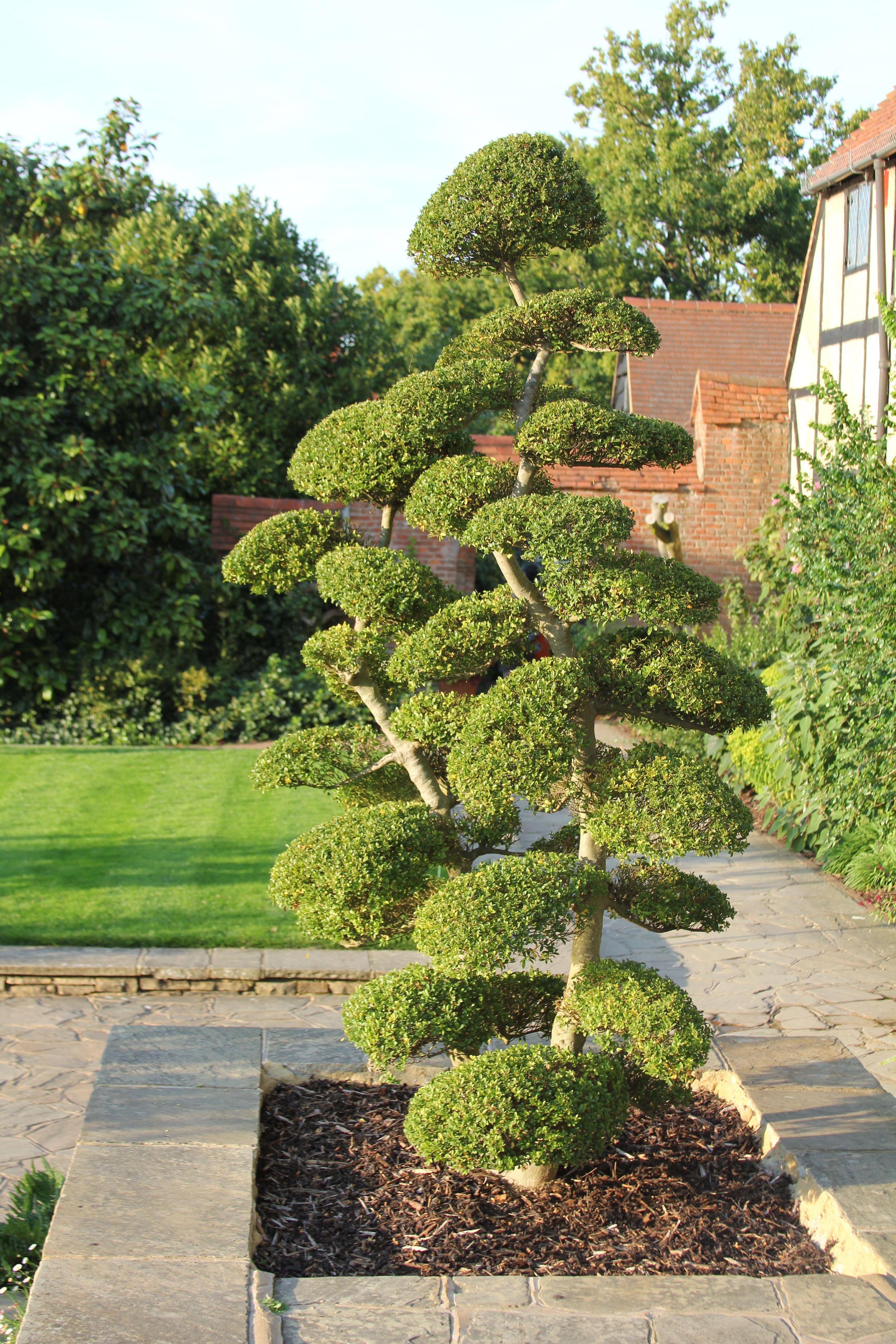 cloud pruned buxus at wisley garden pinterest