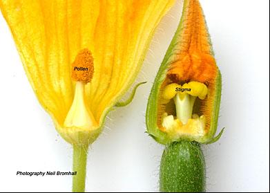 Fleur courgette male et femelle autre pinterest guide pratique potager et jardin potager - Fleur de courgette male ...