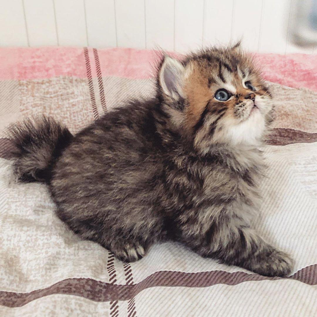 My Princess بريتش لونج هير قطط للبيع سكوتش فولد بريتش Scottishfold قطط Cats Kitten Britishlonghair Instagram Posts Animals Instagram