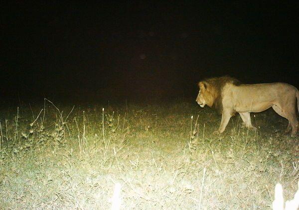 A large male Lion