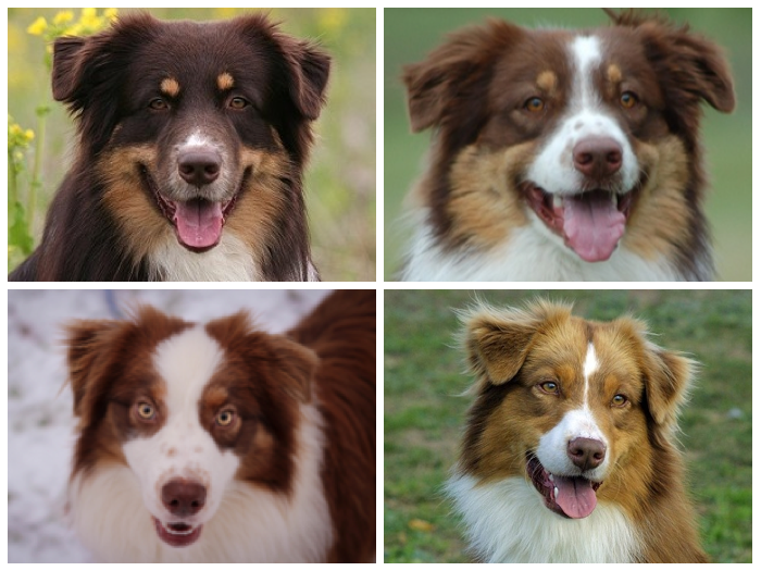 These Are All Red Tri Australian Shepherds The Red Self Bi Tri