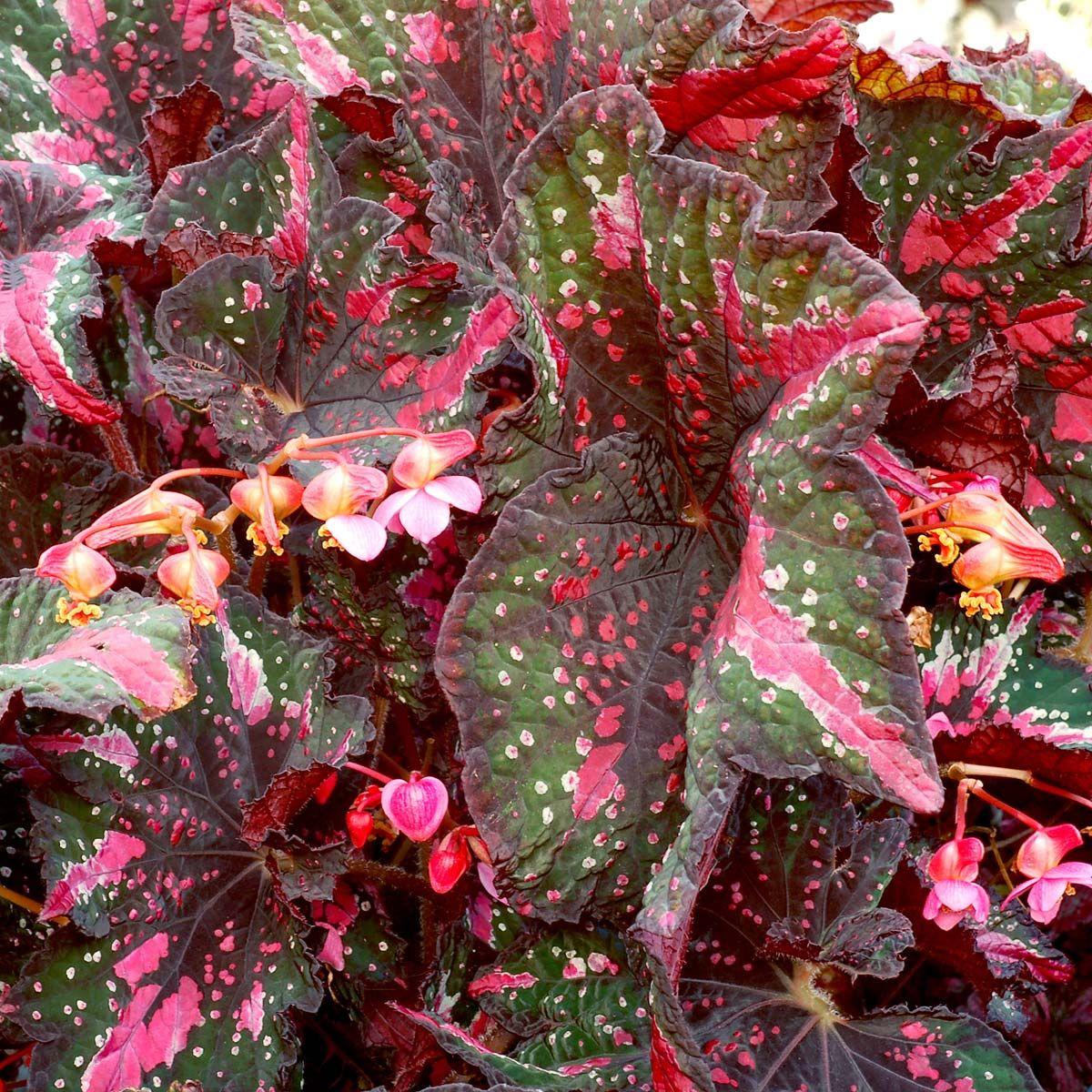 Begonia T Rex St Nick Terra Nova Nurseries Inc Begonia Plants Plant Breeding