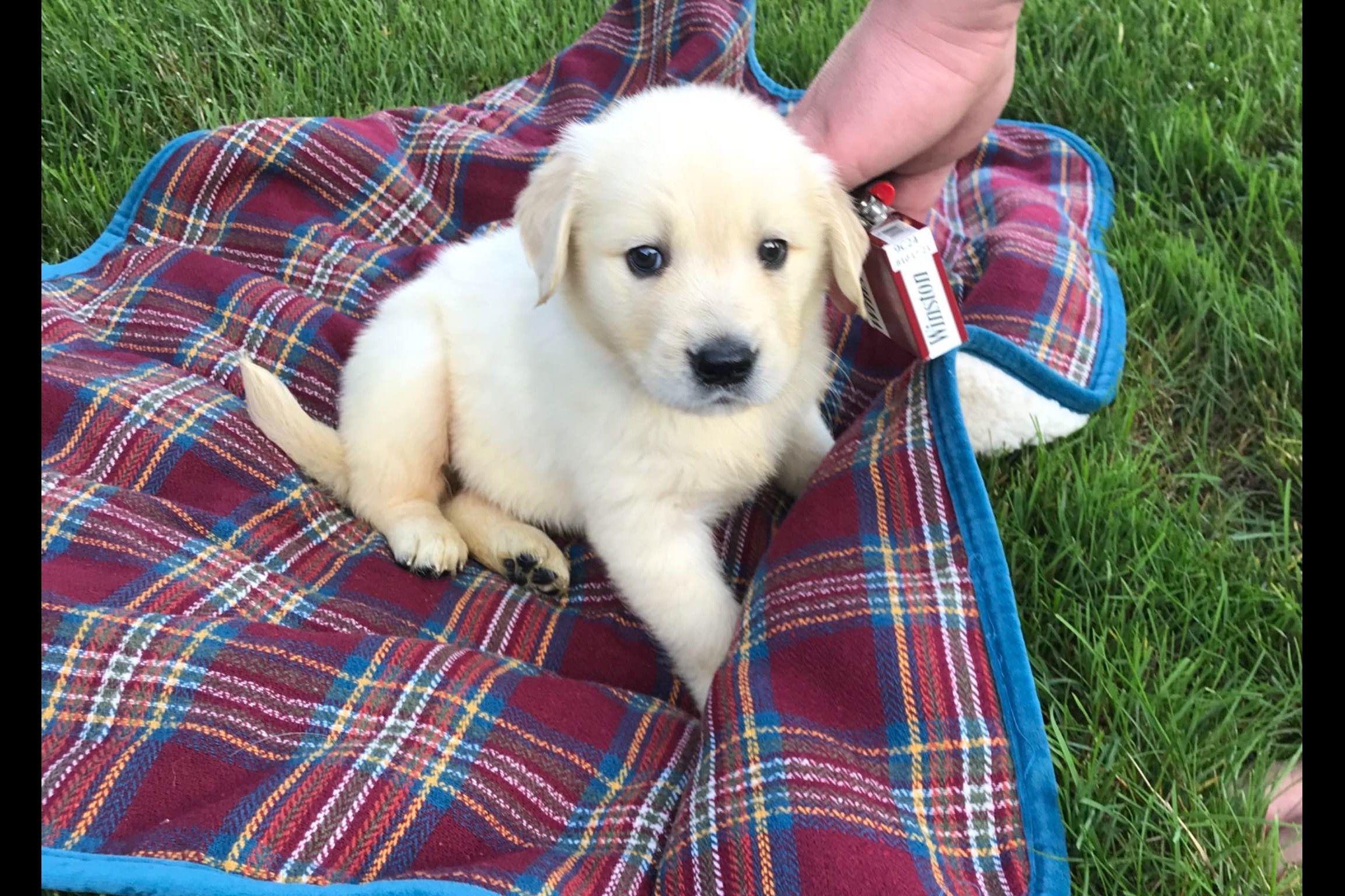 Joanne Ruthsatz Has Golden Retriever Puppies For Sale In Sandusky Oh On Akc Puppyfinder Retriever Puppy Puppies For Sale Golden Retriever