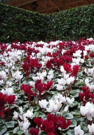 Red White Beauty Cyclamen Armstrong Garden Centers Garden