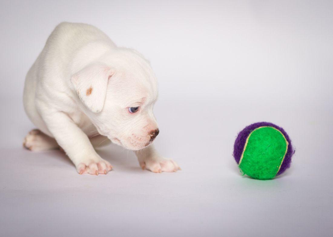 Dogs White Bulldog American Bulldog Bulldog
