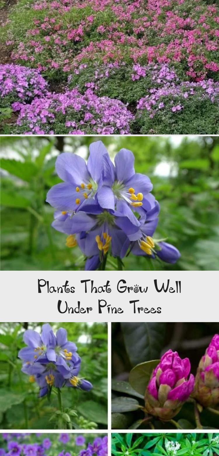 Plants That Grow Well Under Pine Trees - Garden in 2020 ...