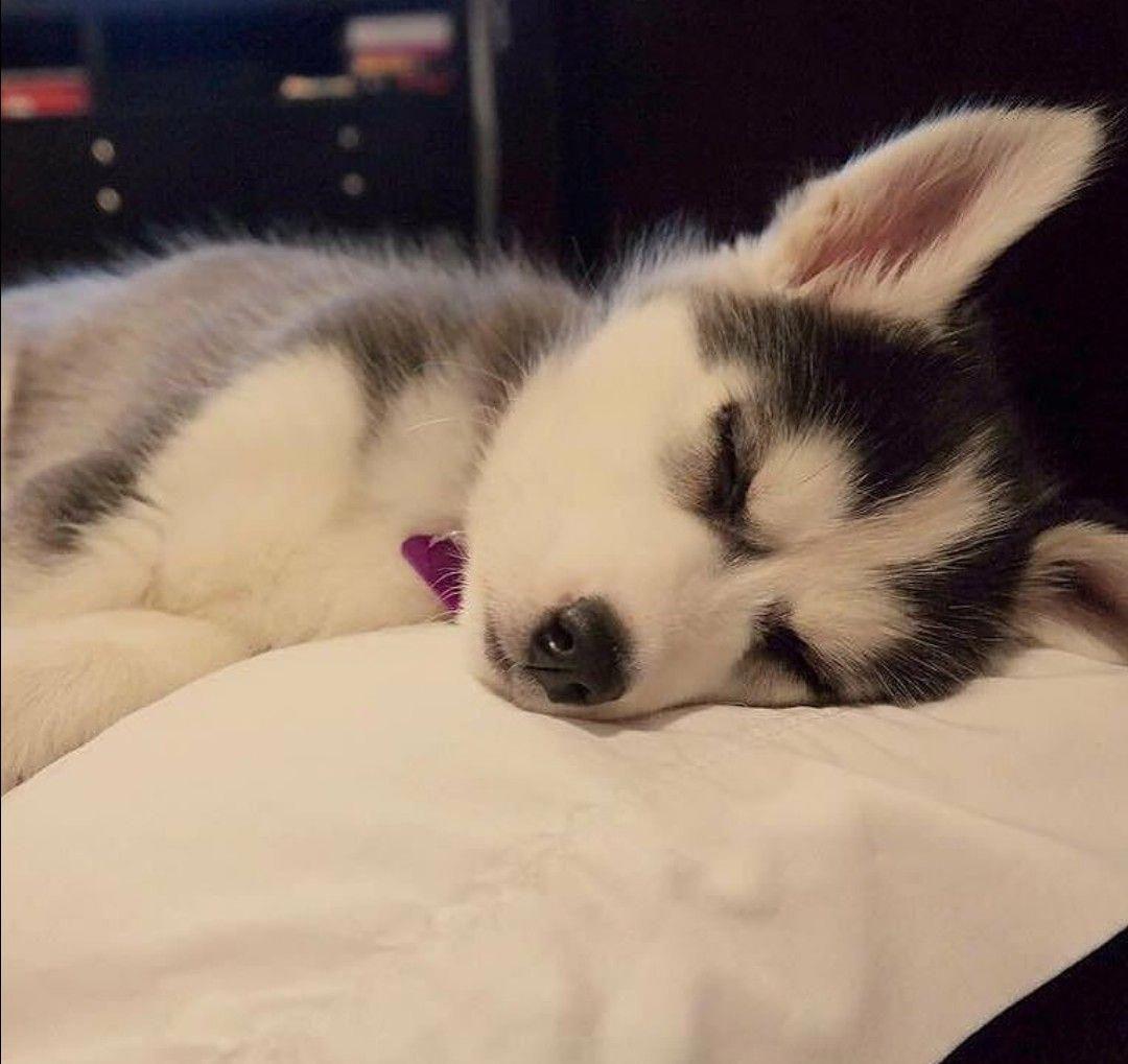 Athena Sleeping Puppies Cute Baby Animals Husky Puppy