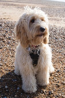Cockapoo Puppies For Sale In Missouri Looking For Information About Cockapoo Puppies For Sale In Missouri Click Here To Find Teac