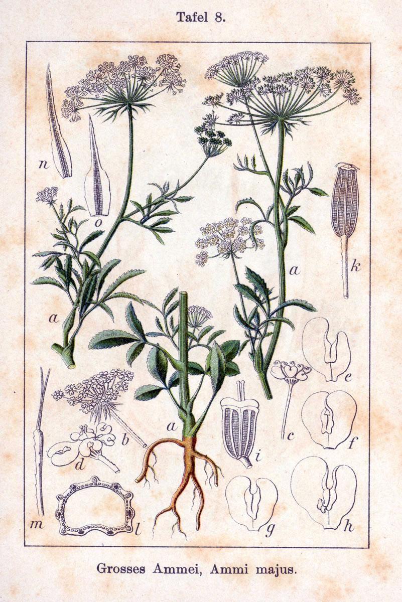 Картинки по запросу botanic image Ajowan caraway
