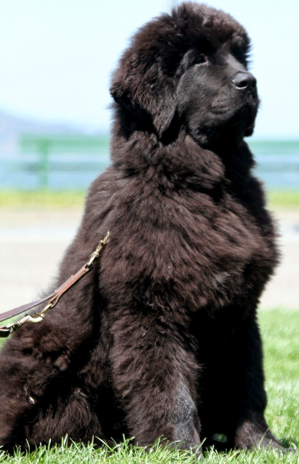 Pin By Robin Yakicic On Newfies Will Have Another Big Dogs