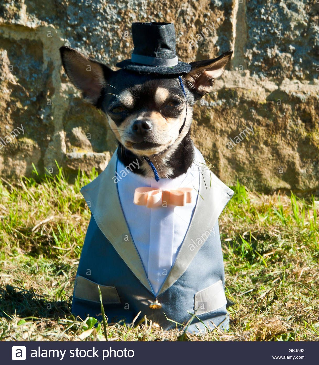 21846b6a portrait of pet Chihuahua dog wearing top hat and tuxedo with bow ...