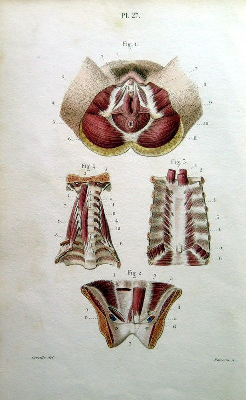 1852 Antique MUSCLES of female genital muscles by LyraNebulaPrints