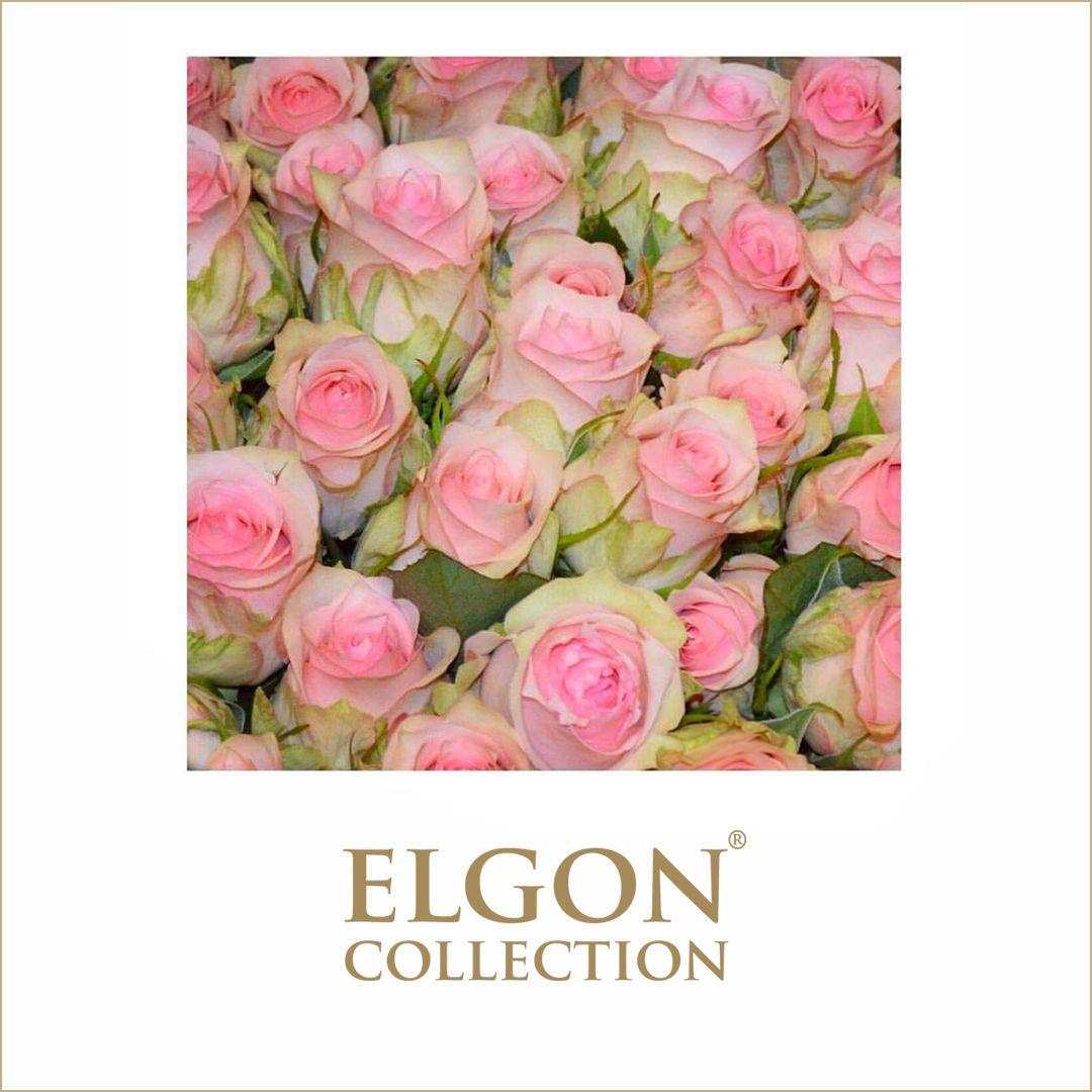 Lovely Jewel Pink Rimmed Rose 14 Days Vase Life 40cm 50cm